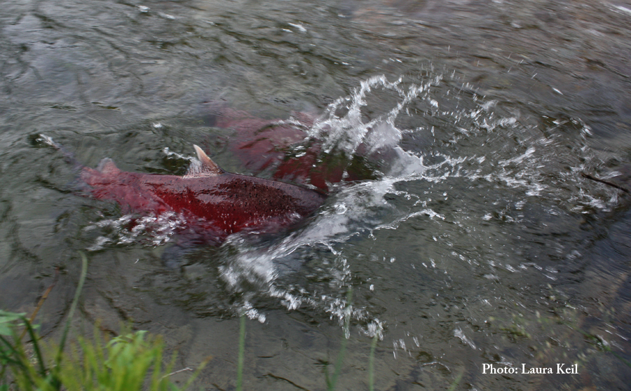 Spawning salmon arrive!