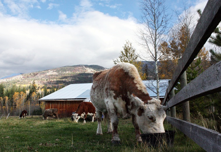 cow robson valley mcbride dunster valemount slaughter farm gate
