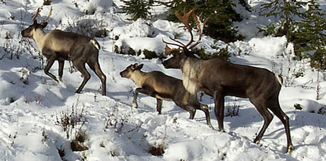 Conservation issues warnings for caribou closures
