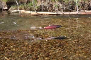 salmon hatchery swift creek valemount BC newspaper rocky mountain goat chinook