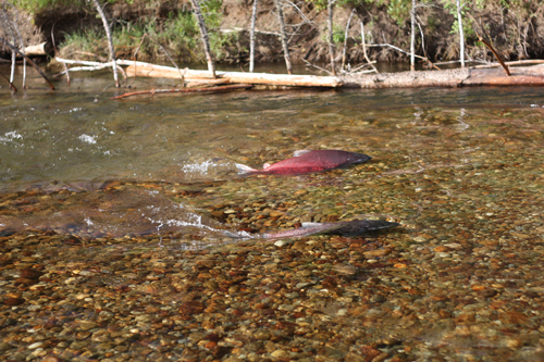 How are Robson Valley salmon counted?