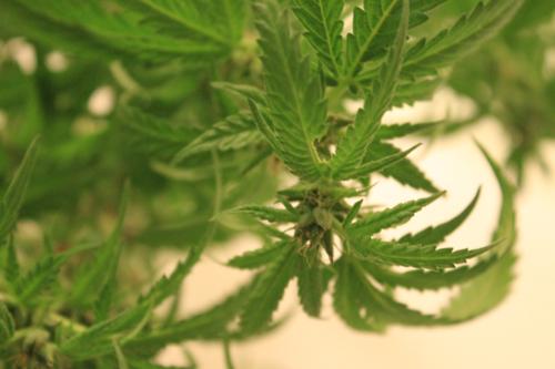 marijuana, pot, weed