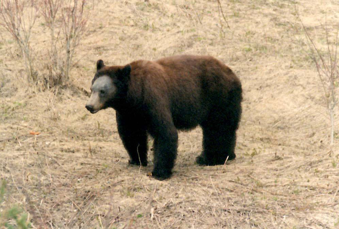 Bear south of Valemount