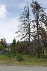 fire hazards dead pine bylaw