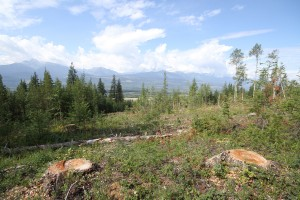 Mt Terry Fox Trail Logging stumps (8)