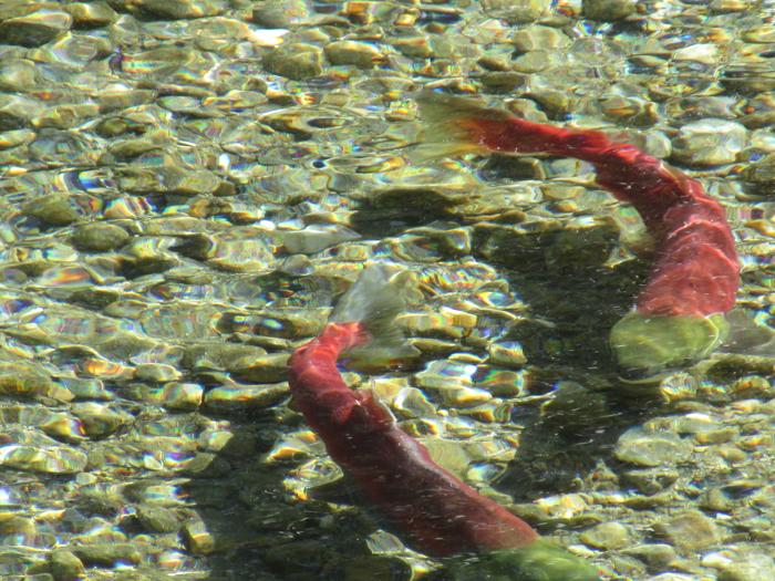 Sockeye Valemount Swift Creek (8)