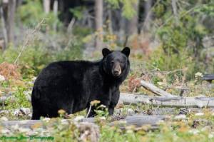 Baybrry meadows bear (1)