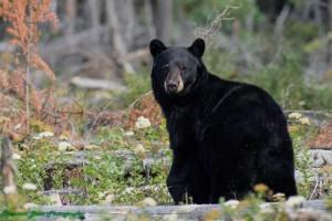 Baybrry meadows bear (2)