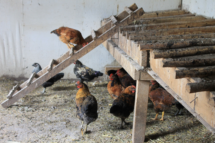 Editorial: Backyard chickens an election issue?