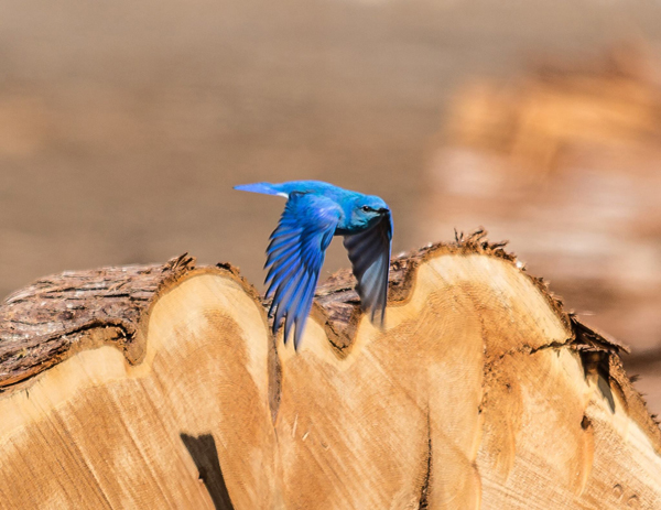 Bob Hoskins bluebird Valemount