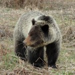 RMG file photo Grizzly bear
