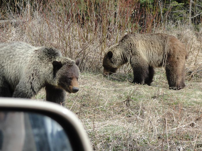 RCMP remind public of bear protocol