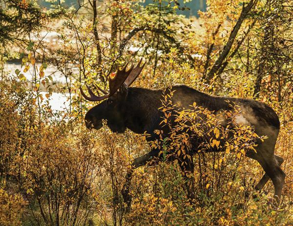 Morning Moose Bob Hoskins
