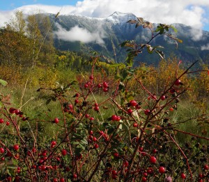 wild rose hips Beaver Mtn MMarcu photo