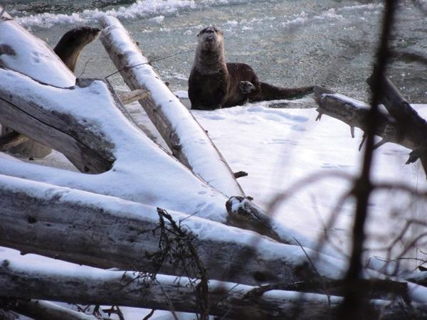 Gene Blackman River Otters (1)aa