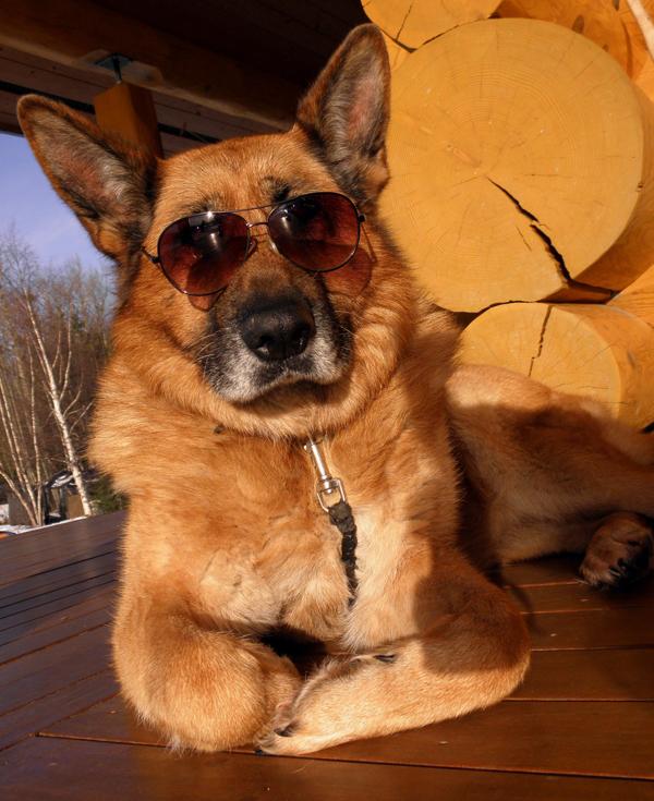 ursa sunbathing german shepherd dog sunglasses sunny sun