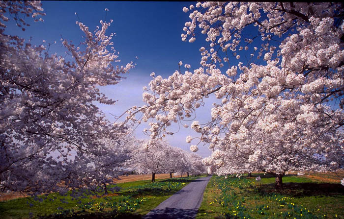 Photo Monica Marcu  - Cherry blossoms are a sign of spring in many southern locales.