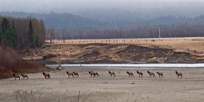 Elk on Fraser sand bar David M (his edit)_web