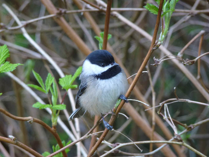 Chickadees prove noise pollution impact