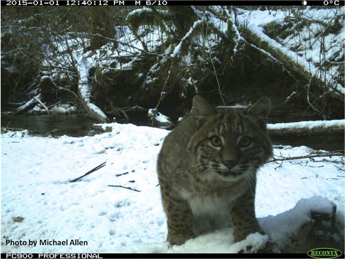 Studying lynx between climate change and feline range