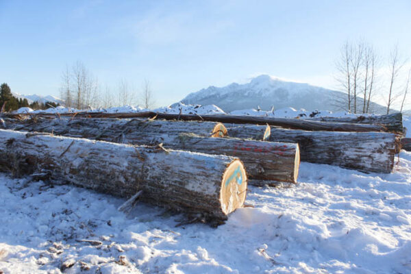 Photo: Evan Matthews Just a few of the logs being piled away for manufacturing posts, when the new line is ready