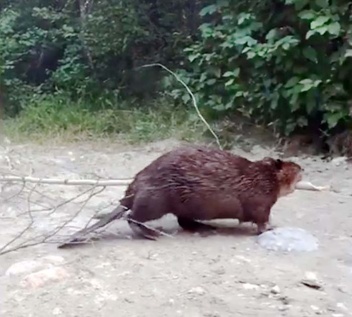 Beaver at work lures customers to restaurant