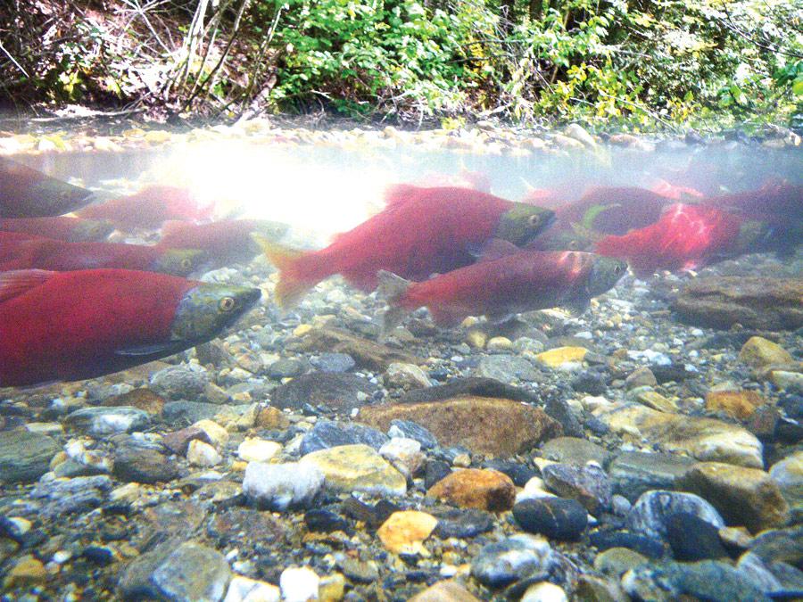 Kokanee OK during bad year for salmon