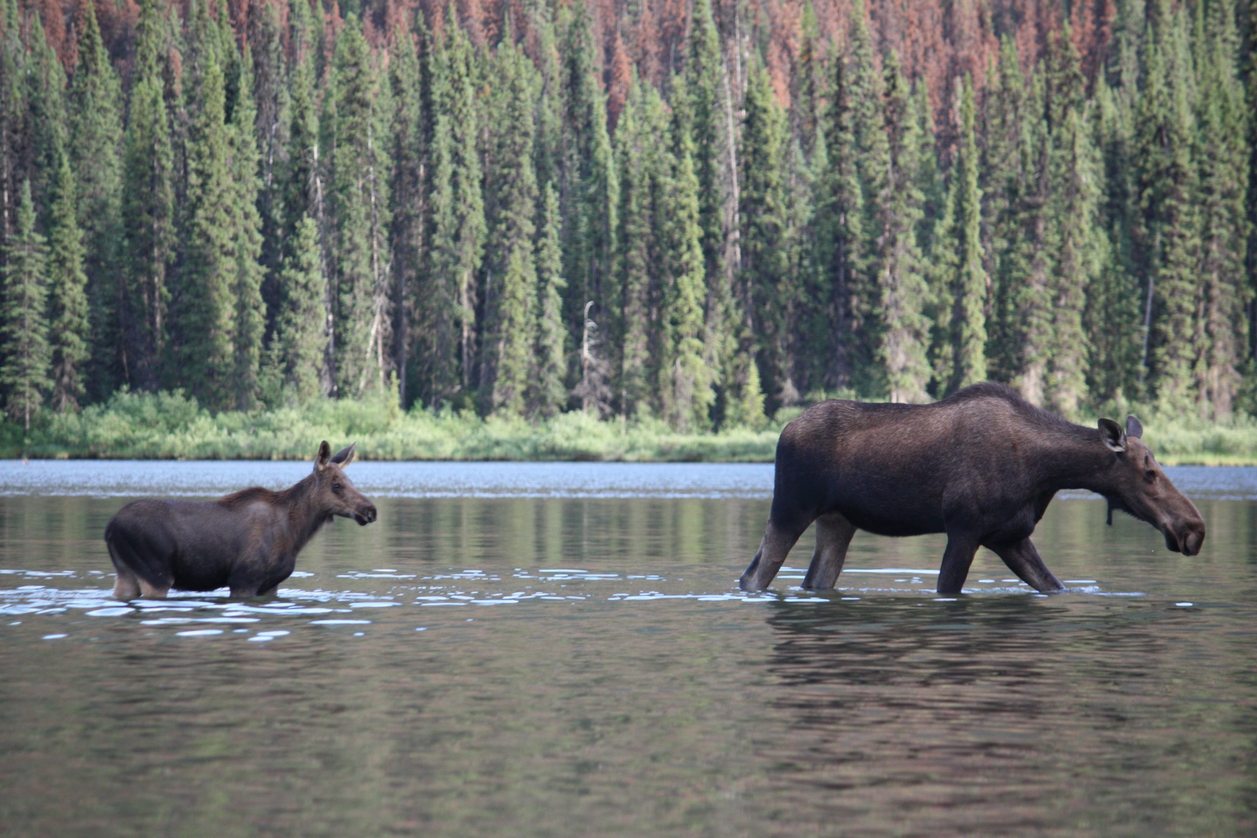 Minister defends moose hunt increases as science-led