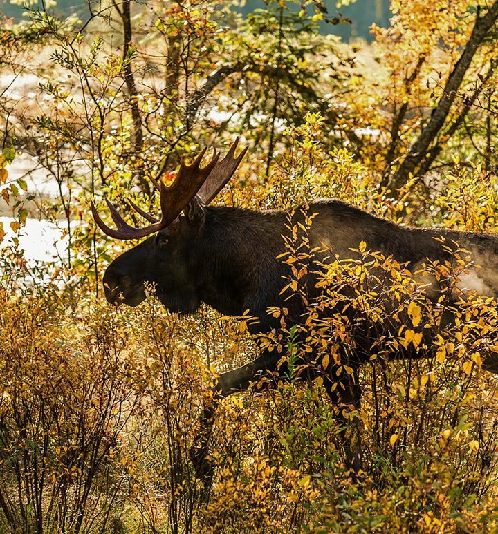 Moose meat: a positive vision for B.C. forests, workers and climate?