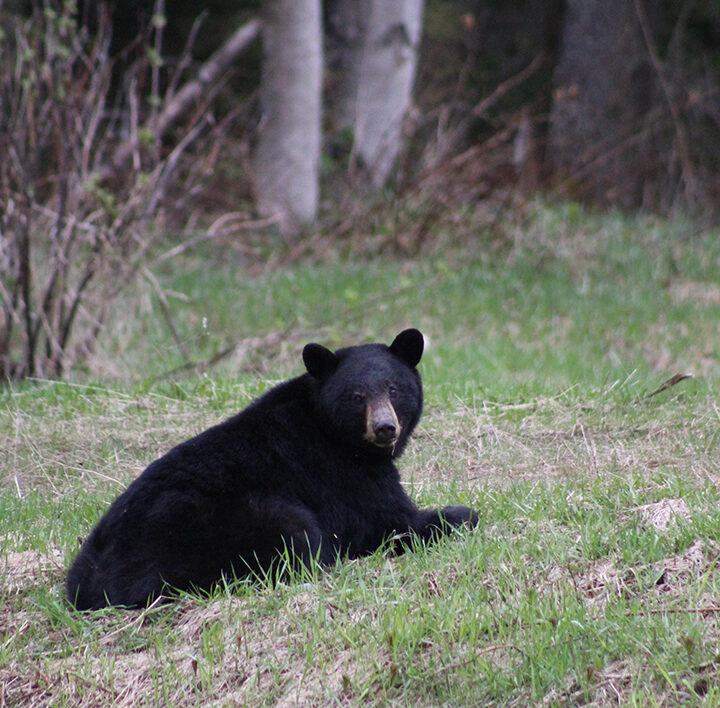 Portrait of a bear