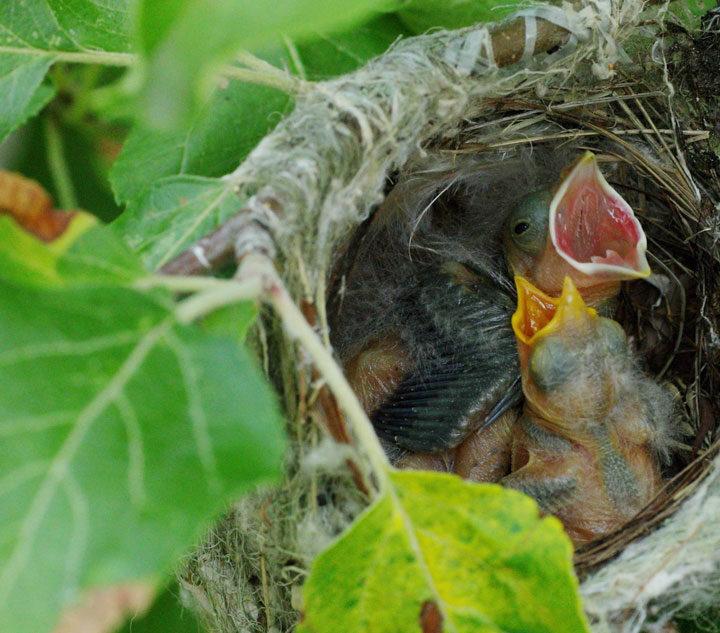 Baby cowbirds rule the nest