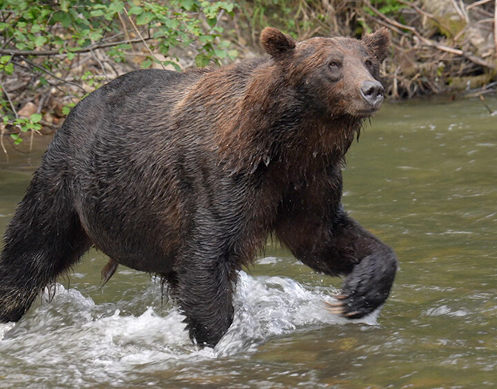 Grizzly faring well