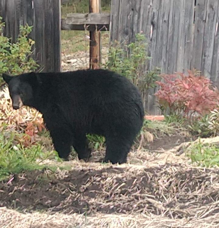 Backyard bear surprises couple