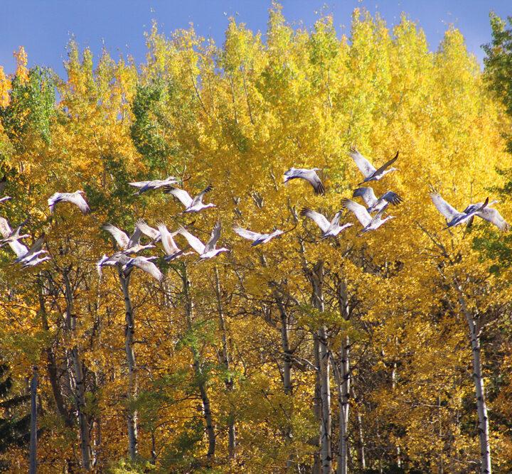 Cranes take flight